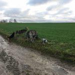 Rencontre entre Beagle et Berger Allemand