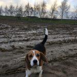 Cairn-terrier et Beagle en promenade