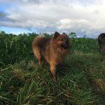 Loulou de Poméranie prenant la pose en balade canine