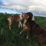 Berger australien et Bull terrier