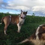 Bull-terrier aux aguets