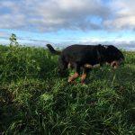 Groupe de chiens sautant dans un champ