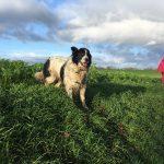 Border Collie en liberté dans un champ