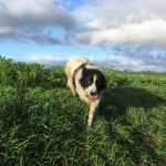 Border-collie marchant dans l'herbe