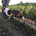 Border collie se baladant sur un sentier boueux