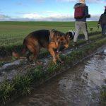 Berger allemand pataugeant dans la boue