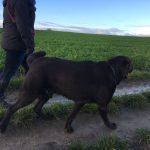 Labrador et Griffon en balade