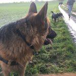 Berger allemand et Bouvier d'Appenzell en promenade canine