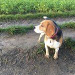 Beagle prenant la pose lors de la promenade canine