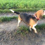 Beagle marchant fièrement