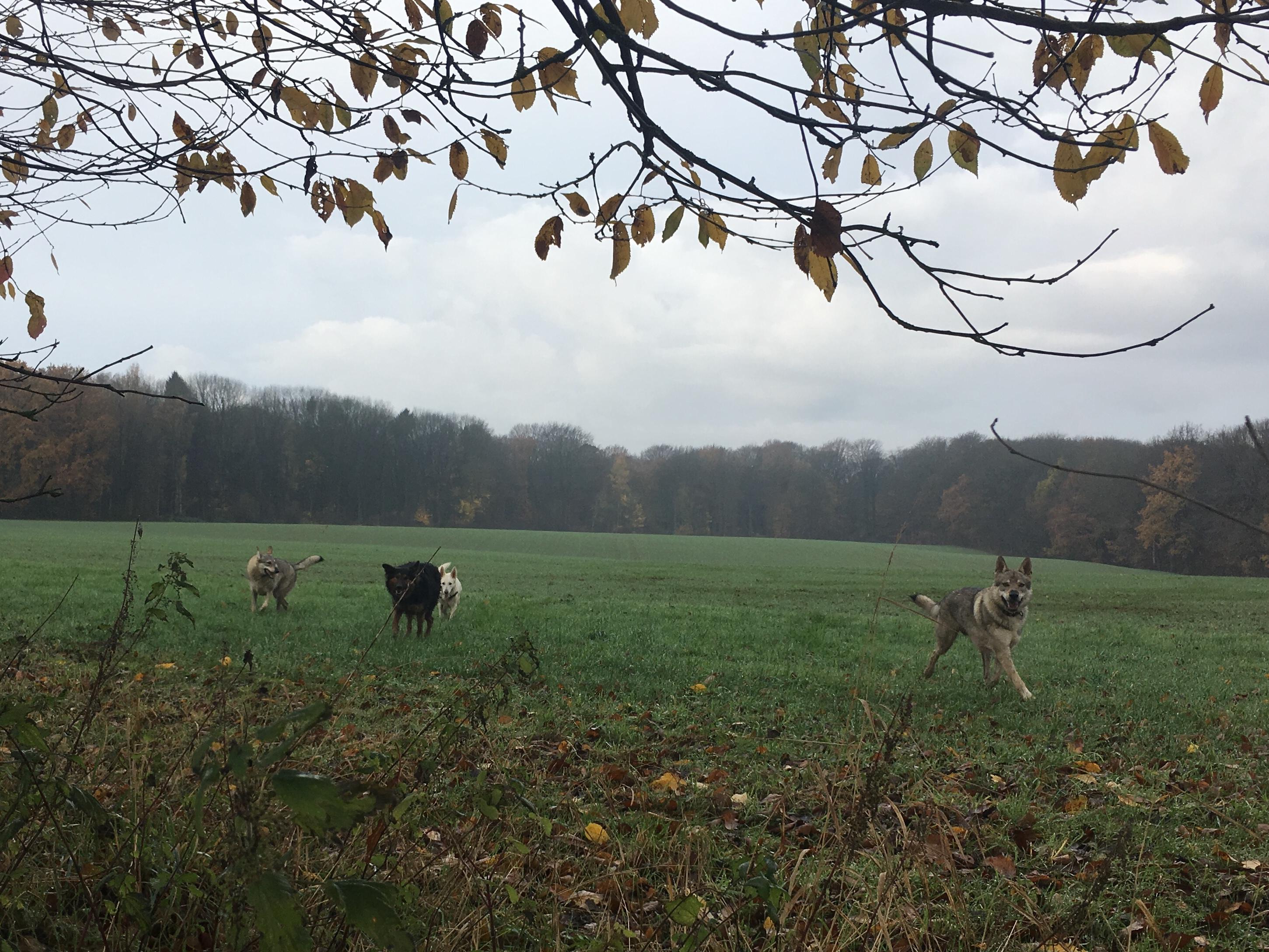 Chiens loups tchécoslovaques s'amusant avec d'autres chiens dans un champ