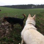 Beagle et Berger Blanc dans les champs