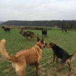 Beagle, Berger belge malinois et Berger allemand galopant