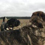 Mâtin espagnol faisant connaissance avec un autre chien