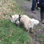 Cairn-terrier en exploration