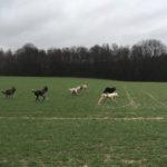 BBS, Chien-loup tchécoslovaque et Berger allemand batifolant dans les champs