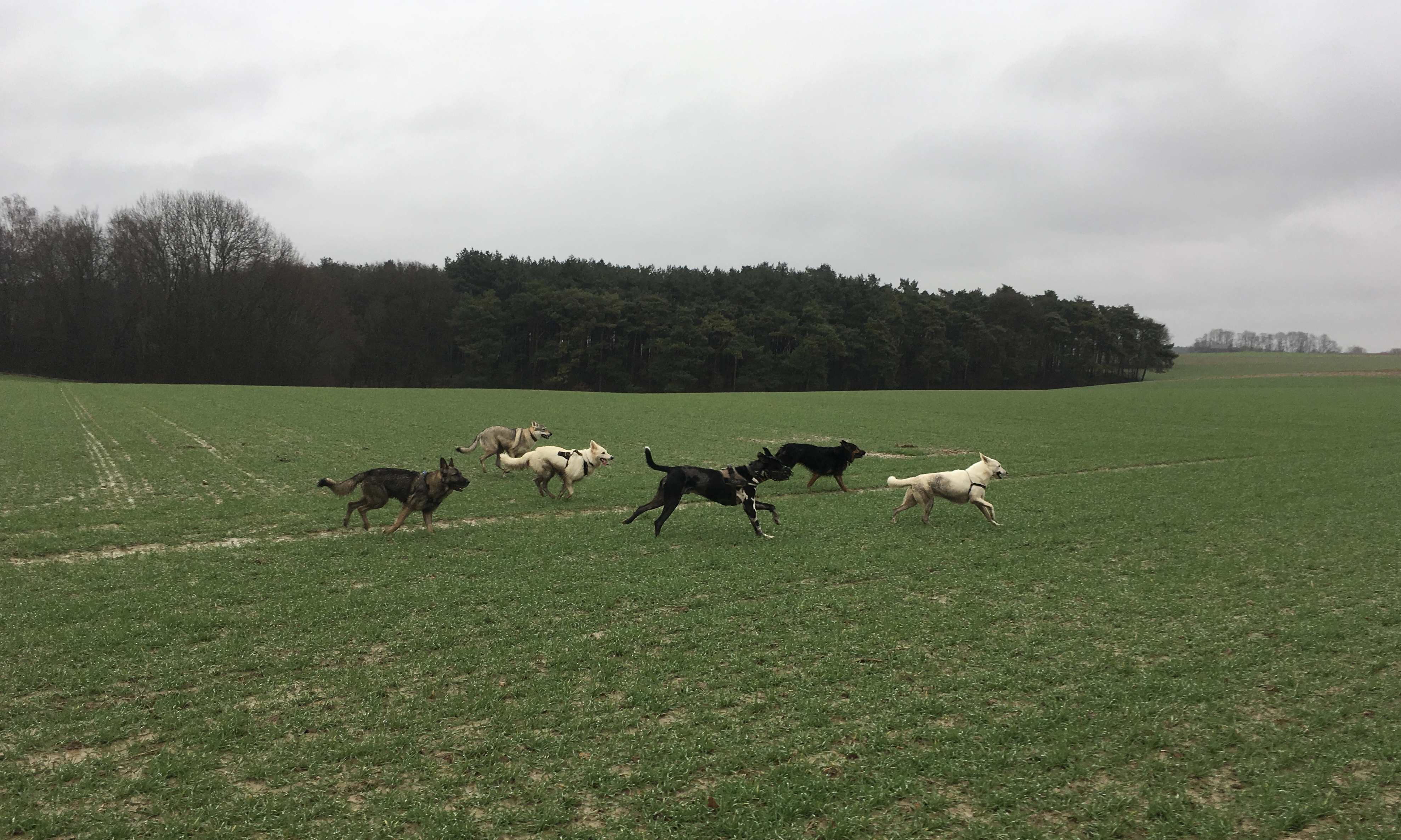 Bergers suisses, Bergers allemands et Chien-loup tchèque en plein sprint