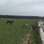 Chien-loup tchécoslovaque interagissant avec d'autres chiens