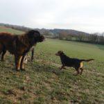 Berger portugais et Beagle en vadrouille dans les champs