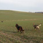 Bergers allemands et Chien-loup tchécoslovaque cavalant