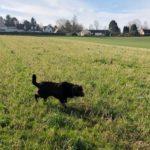 Labrador retriever en exploration