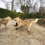 Chiens loups tchèques avec Berger allemand et Malinois
