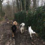 Berger portugais, Malamute, Berger blanc, Bulldog et Mâtin espagnol