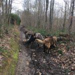 Berger portugais, Berger allemand, Beagle, Bulldog, Mâtin espagnol et Chien-loup