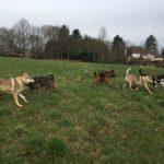 Chiens loups tchèques avec Berger allemand et d'autres chiens