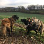 Interactions canines avec Beagle, Chien loup tchèque et Berger portugais
