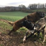 Jeux canins avec un Berger portugais et un Chien-loup tchécoslovaque