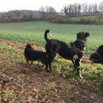 Beagle et Berger portugais fatigués