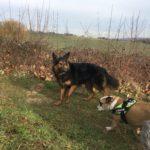 Bulldog anglais et Berger allemand à poils longs se baladant