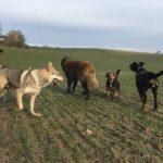 Chien-loup slovaque s'amusant avec Beagle et Berger portugais