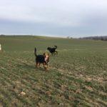 Joli Beagle fatigué de sa course dans les champs