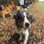 Balade canine avec Berger australien, Berger allemand et Berger belge