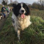 Border-collie en expédition canine