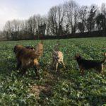 Relations canines entre Beagle et Chien-loup tchécoslovaque