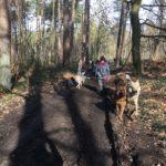Chiens loups tchèques et Berger allemand en forêt