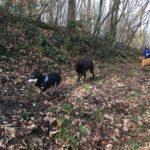 Labrador retriever et Berger malinois courant derrière les autres chiens