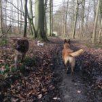 Berger australien et Malinois explorant la forêt