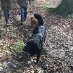 Hovawart en excursion canine au sein des feuillus