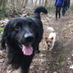 Hovawart et Jack-russel-terrier