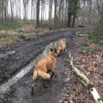 Berger Belge Malinois et Griffon fauve de Bretagne marchant sur les chemins forestiers