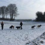 Balade canine dans les champs enneigés