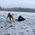 Hovawart profitant de la neige