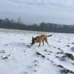 Malinois profitant du manteau neigeux