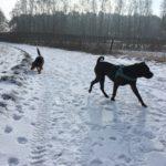 Shar Pei et Beagle