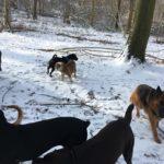Berger allemand, Bulldog anglais et Shar pei