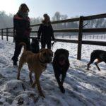 Dobermann se baladant en compagnie d'autres chiens